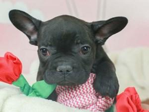 French Bulldog-DOG-Male--2613247