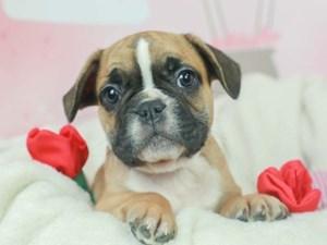French Bulldog-DOG-Male-Red Fawn-2603077