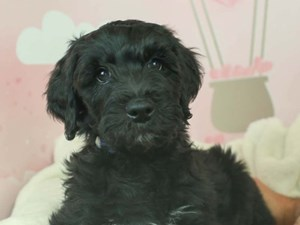 Whoodle-DOG-Male--2612836