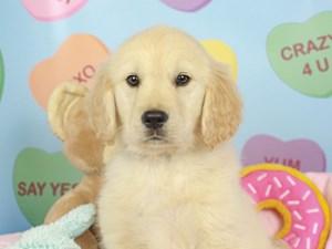 Golden Retriever-DOG-Female--2620032