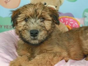 Soft Coated Wheaten-DOG-Male-WHEATEN/BLK MSK-2620120