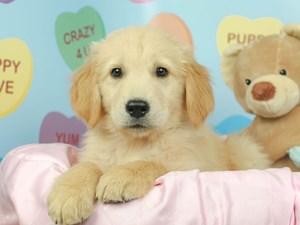 Golden Retriever-DOG-Male-Golden-2620229