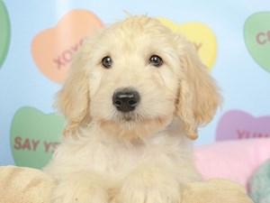 Goldendoodle-DOG-Male--2619788