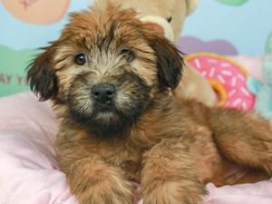 Soft Coated Wheaten-DOG-Female-WHEATEN/BLK MSK-2620121