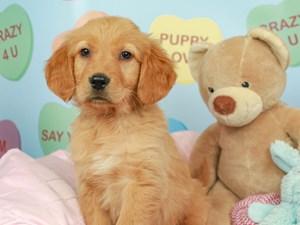 Golden Retriever-DOG-Male-Golden-2620230