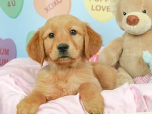 Golden Retriever-DOG-Male-Golden-2620227