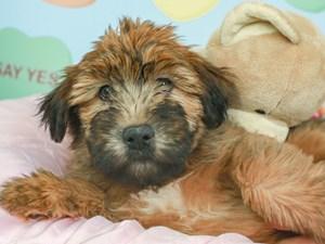 Soft Coated Wheaten-DOG-Female-WHEATEN/BLK MSK-2620122
