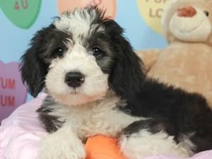 Mini Sheepadoodle-DOG-Male--2621783