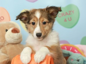 Shetland Sheepdog-DOG-Female--2621725