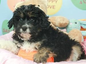 Aussie Poo-DOG-Male--2621568