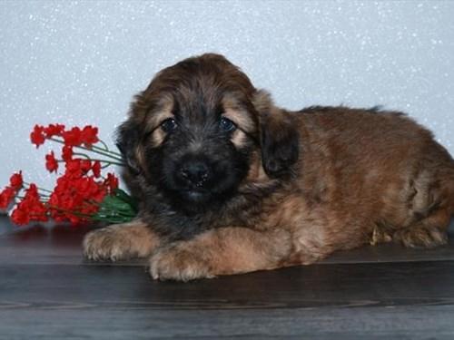 Grand Rapids Aussie/Wheaten Dog Adoption Grand Rapids, MI