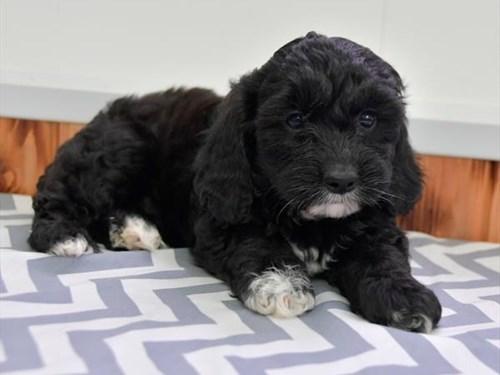 Grand Rapids F1b Cavapoo Dog Adoption Grand Rapids, MI