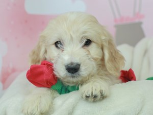 Golden Tulear-DOG-Male--2613118