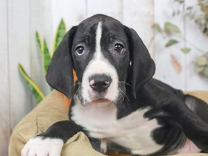 Great Dane-DOG-Male--