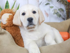 Labrador Retriever-DOG-Male--