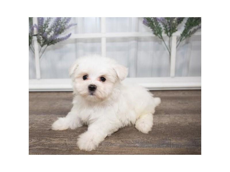 Maltese-DOG-Male-White-2628821