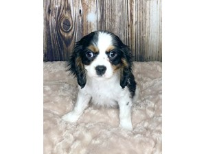 Dogs Puppies For Sale Petland Ashland Ross County Oh