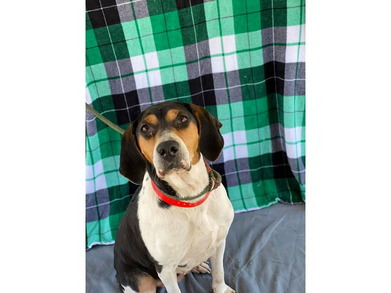 Hound Mix-DOG-Female-Tri Color-2622908-img1