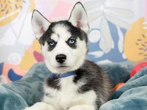 Siberian Husky-DOG-Female-Black & White-