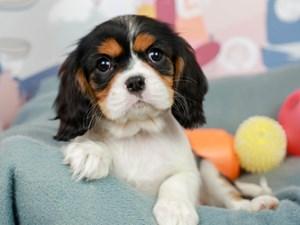 Cavalier King Charles Spaniel-DOG-Female--