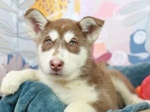 Alaskan Malamute-DOG-Male-RED/WHITE-