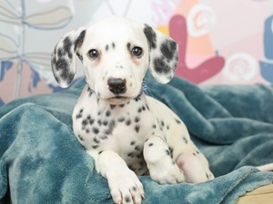 Dalmatian-DOG-Male--