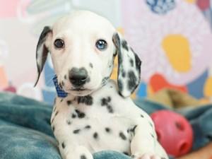 Dalmatian-DOG-Female--