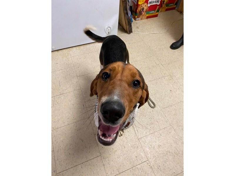 Walker Coonhound-DOG-Male-Tri Color-2635509