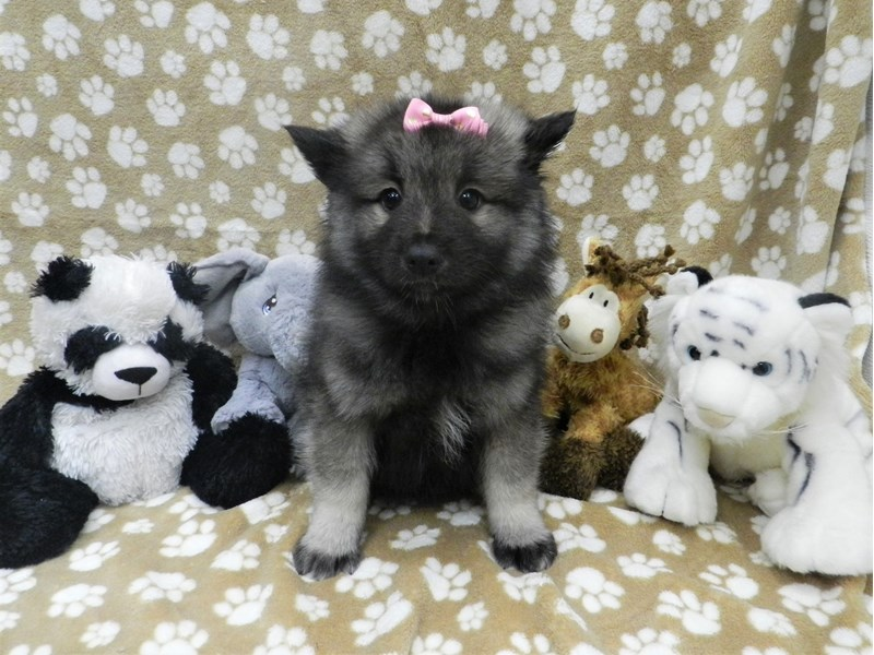 Keeshond Dog Black And Silver Id