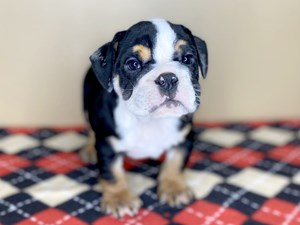 Dogs Puppies For Sale Petland Florence Kentucky