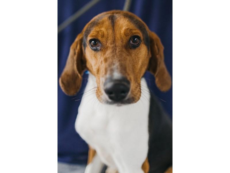 Walker Coonhound-DOG-Male-Tri Color-2635509-img2