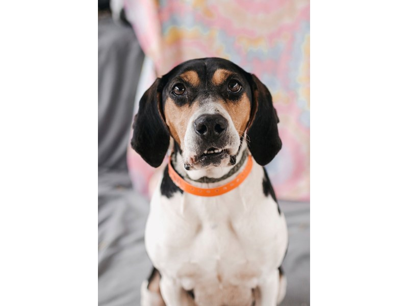 Hound Mix-DOG-Female-Tri Color-2622908-img2