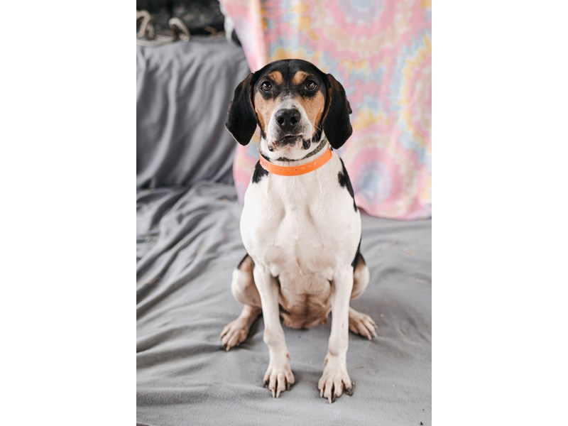 Hound Mix-DOG-Female-Tri Color-2622908-img3