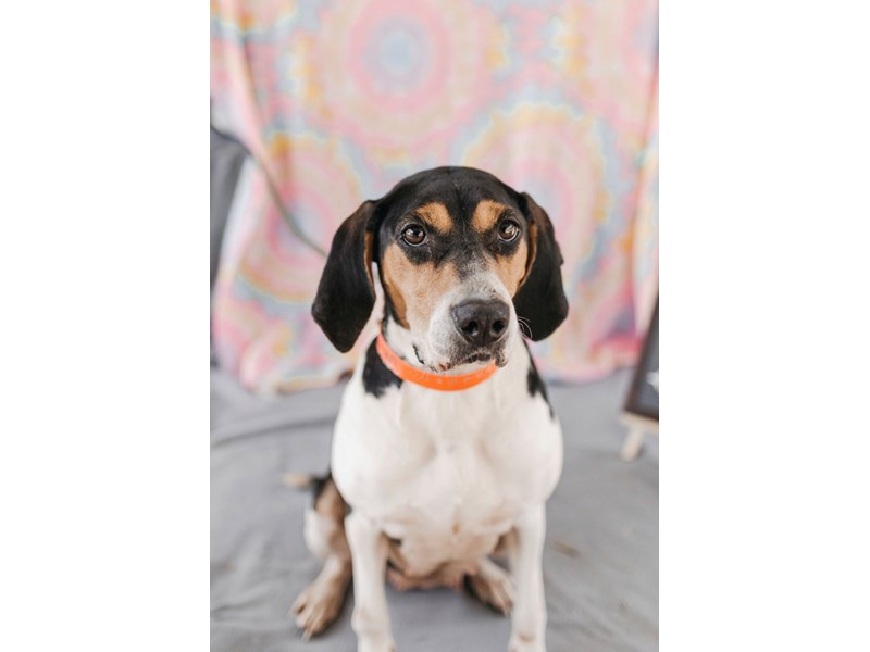 Hound Mix-DOG-Female-Tri Color-2622908-img4