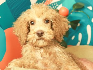 Standard Poodle-DOG-Male-APRICOT-