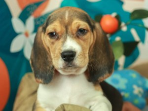 Beagle-DOG-Male--
