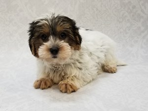 Puppies For Sale In Florida Petland Bradenton Pet Store