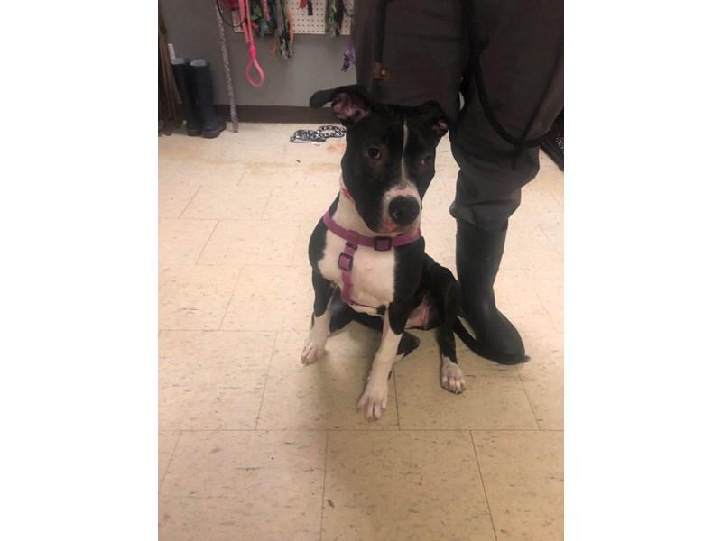 American Pit Bull Terrier-DOG-Female-Black,White-2705857