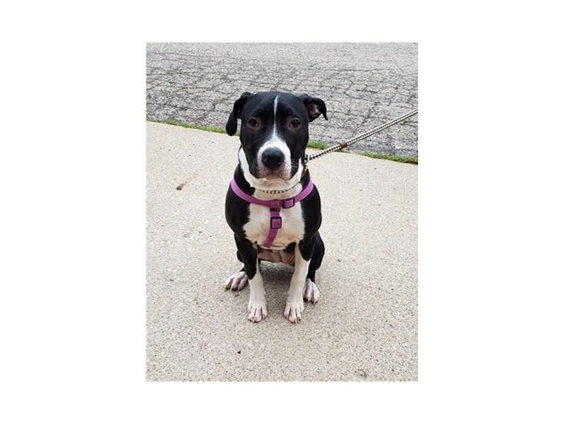 American Pit Bull Terrier-DOG-Female-Black,White-2705857-img2