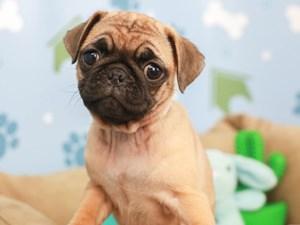 Pug-DOG-Female-FAWN-