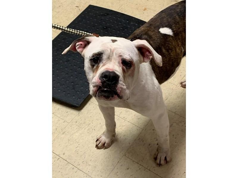 American Bulldog mix-DOG-Female-White,Brindle-2711405