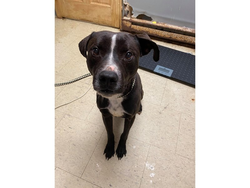 American Pit Bull Terrier-DOG-Male-Brindle,White-2714458
