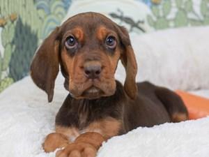 Bloodhound-DOG-Male--