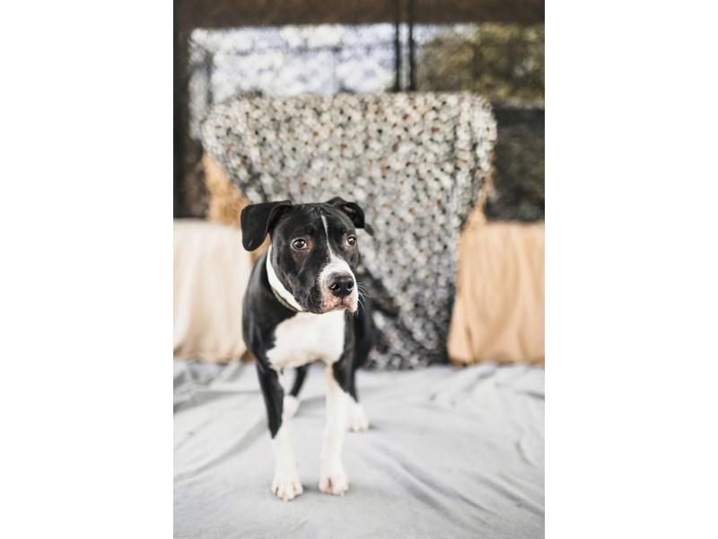 American Pit Bull Terrier-DOG-Female-Black,White-2705857-img3