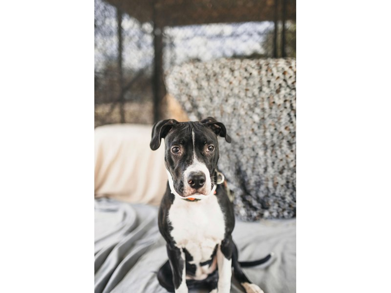 American Pit Bull Terrier-DOG-Female-Black,White-2705857-img4