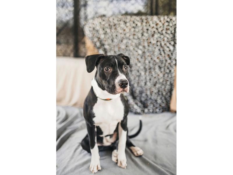 American Pit Bull Terrier-DOG-Female-Black,White-2705857-img5