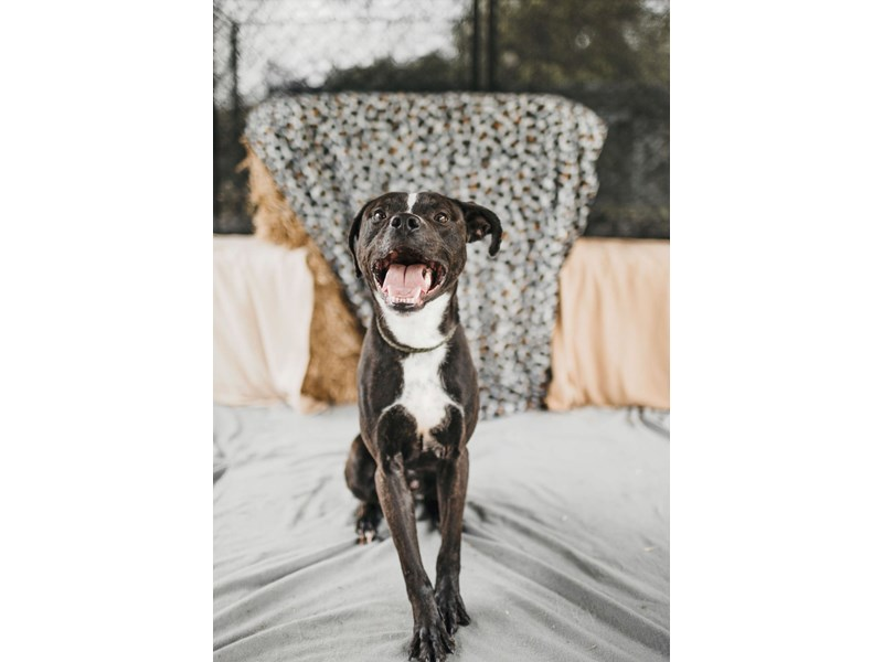 American Pit Bull Terrier-DOG-Male-Brindle,White-2714458-img2