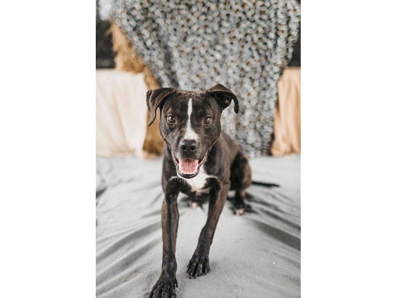American Pit Bull Terrier-DOG-Male-Brindle,White-2714458-img3