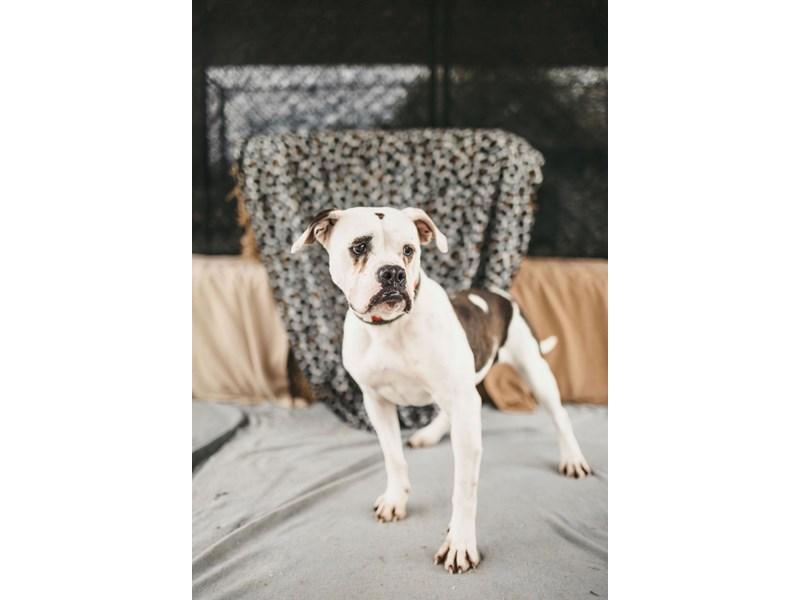 American Bulldog mix-DOG-Female-White,Brindle-2711405-img2
