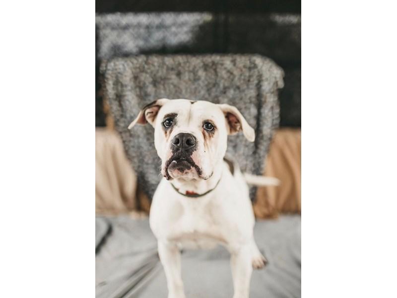 American Bulldog mix-DOG-Female-White,Brindle-2711405-img3